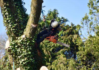 Démontage d'un grand chêne | Arbiosa élagage et paysage