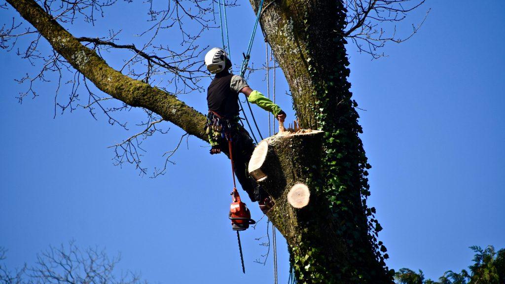 Démontage difficile d'un Chêne  | Arbiosa élagage et paysage