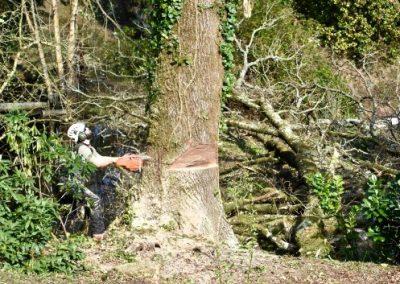 Démontage et abattage d'un grand arbre par la société d'élagage arbiosa.