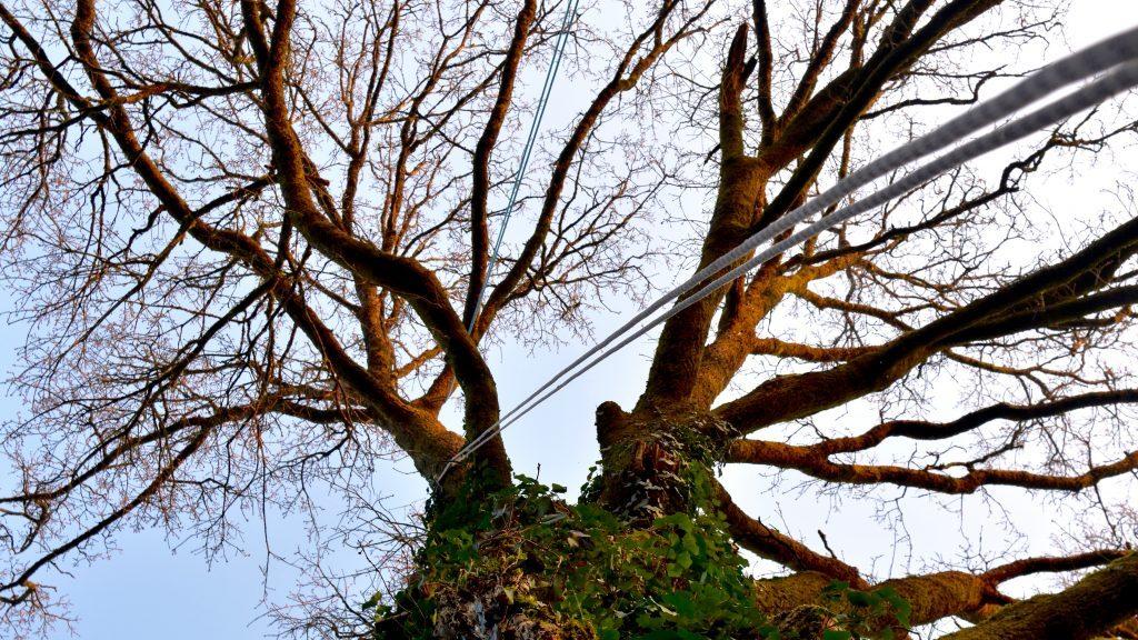 Élagage d'un grand arbre à la chevrolière.