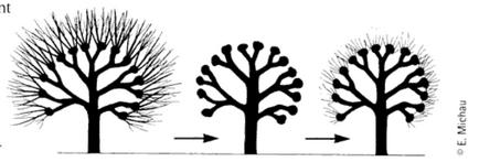 La taille en tête de chat ou en tête de saule est un mode de gestion des arbres.