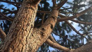 Taille des bois mort sur un pin à Machecoul par la société arbiosa.