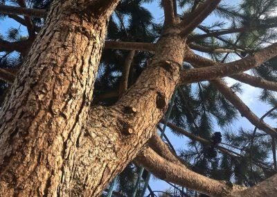 Taille sanitaire avec suppression des bois morts | Arbiosa élagage et paysage