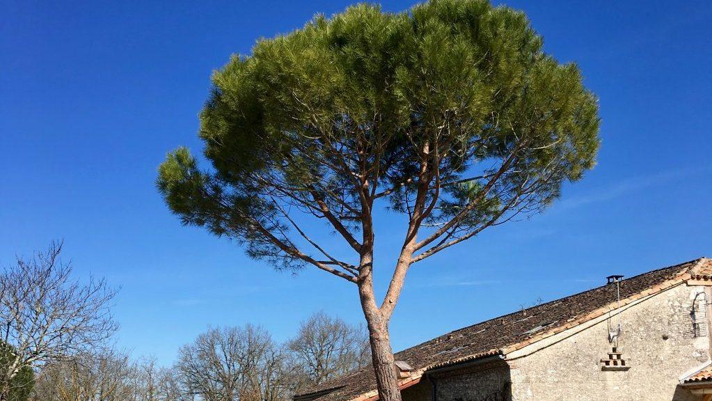 Taille sanitaire d'un pin parasol au domaine le Vignal à Montflanquin