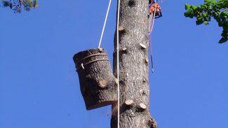 Démontage d'un frêne avec rétention par corde et système de freinage