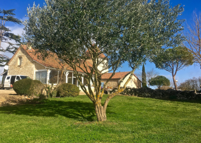 Taille de formation d'un olivier à Bouaye.