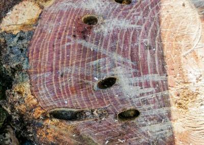 Diagnostique de l'arbre : les capricornes du chêne.