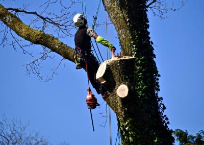 Abattage par démontage Dun grand chêne à saint philbert de grand lieu.